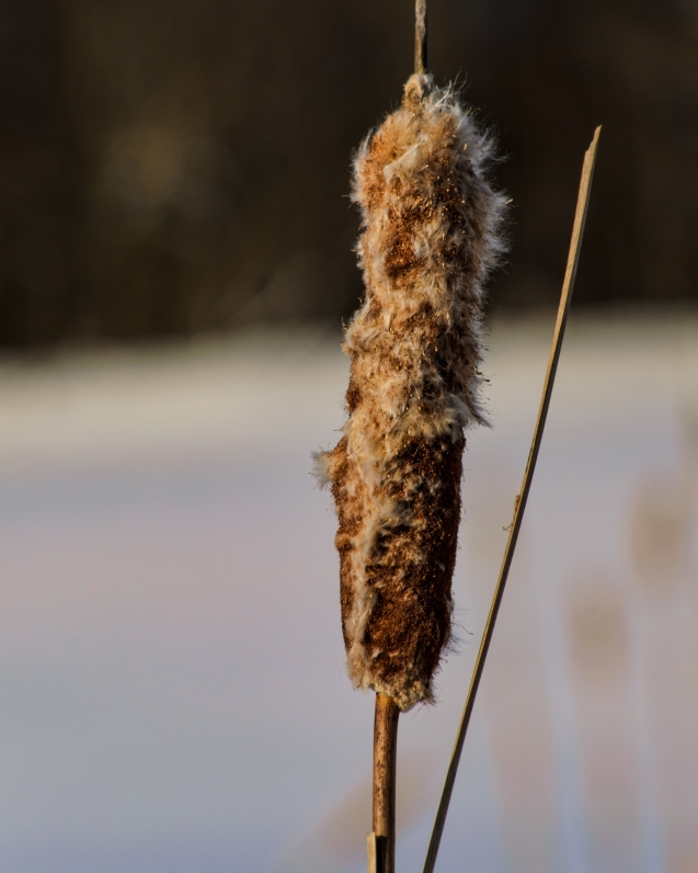 Cattail Light Nikon D5100, Nikkor 55-200mm f/4-5.6, 1/500s, 200mm, f/11, ISO 200