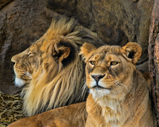 Chillin' African Lions