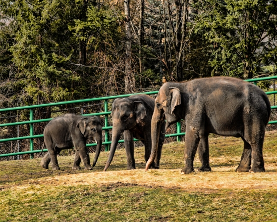 Family Asian Elephants