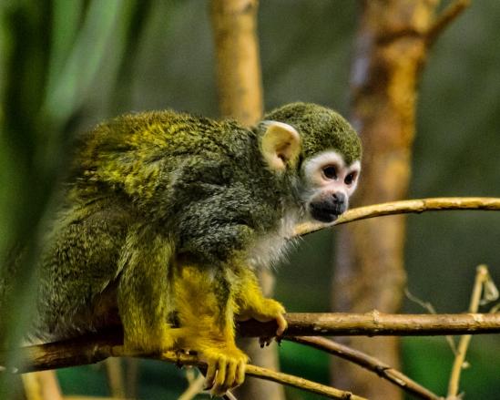 On Alert Squirrel Monkey