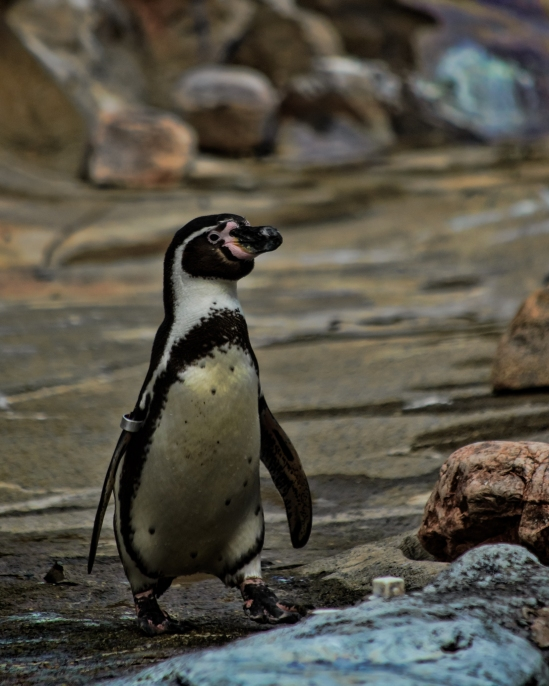 Out for a Stroll Pebguin