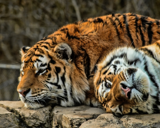 Relaxin' Tigers
