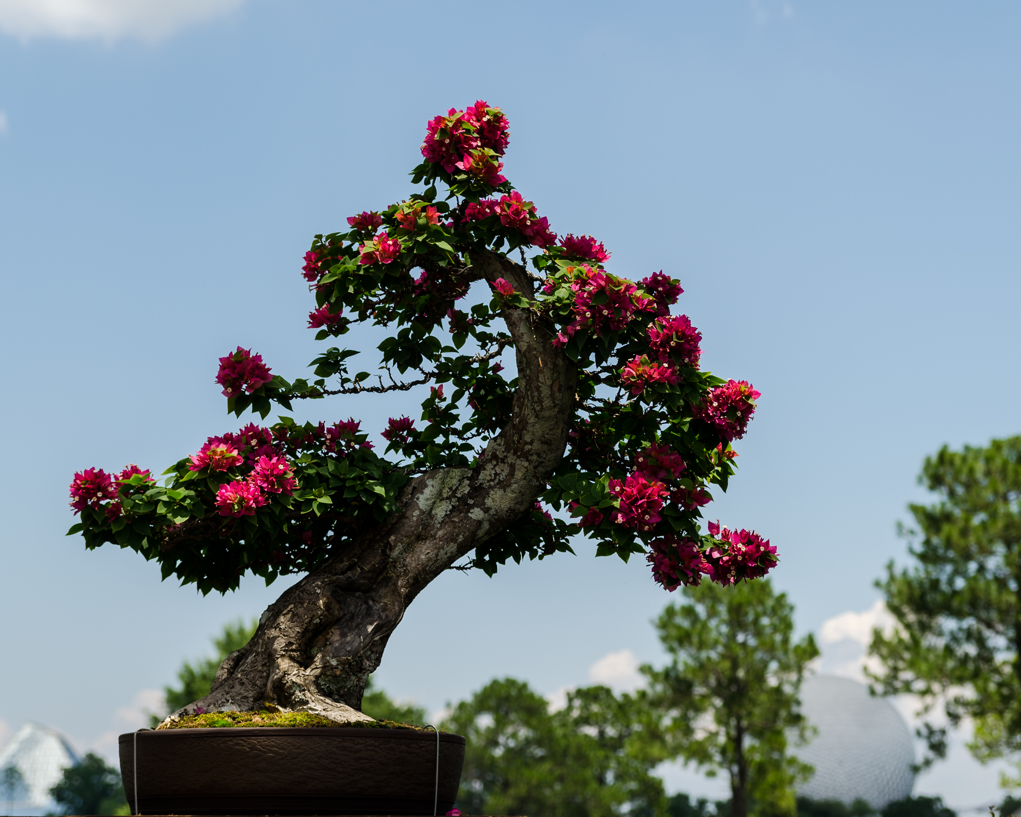 Bonsai trees in Japan pavilion at Epcot during Flower & Garden Festival 2012