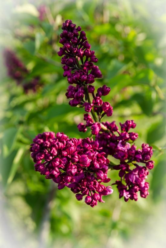 Purple Lilacs Nikon D5100, Sigma 17-70mm f/2.8-4, 1/125s, 46mm, f/8, ISO 200