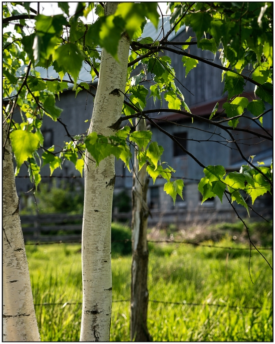 Tree, Fence & Barn Nikon D7100, Sigma 17-70mm f/2.8-4, 1/200s, 70mm, f/5.6, ISO 100